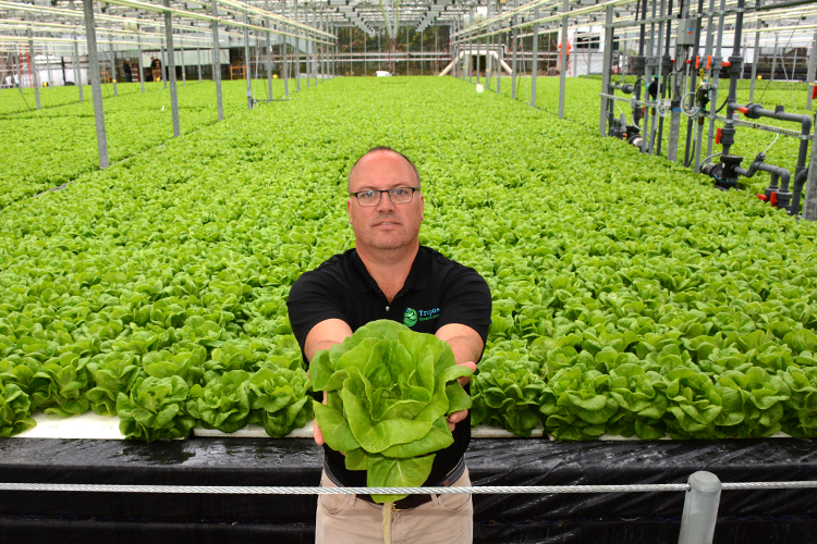 Paal Eflstrum, Wheatfield Gardens COO, stands in front of hundreds of heads of green lettuce in one of his greenhouses located in North Tonawanda.